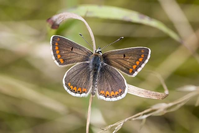 Brown Argus - Stony Stratford Nature Reserve, Milton Keynes (2015)