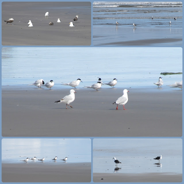 gulls-terns-new-zealand