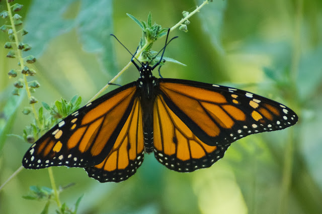 Monarch, Clear Creek Natural Heritage Center