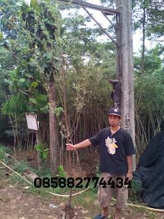 Tukang taman menjual pohon liang liu atau janda merana murah