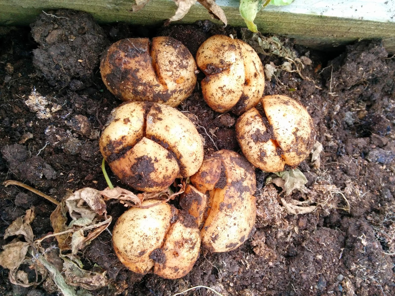 cracked potatoes  - 'growourown.blogspot.com' ~ an allotment blog