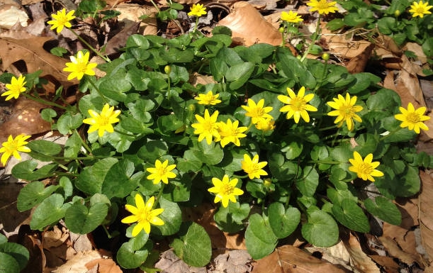 Low growing plant with yellow flowers identification wild birds unlimited photo share bright yellow flowers mightylinksfo
