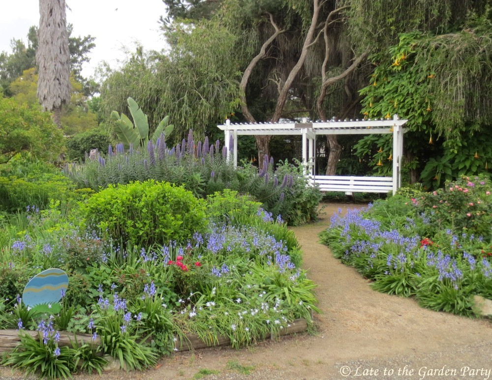 The Area Surrounding The Echium (aka Pride Of Madeira) Was Punctuated With  Spanish Bluebells (Hyacinthoides Hispanica)
