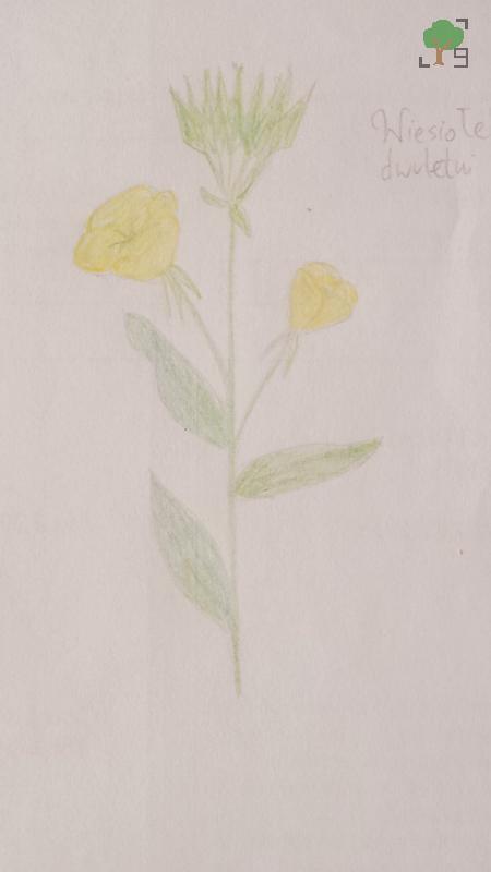 Oenothera biennis, evening star, ослинник двуйлетний, roślina, rysunek, biologia, żółty kwiat, NNKT