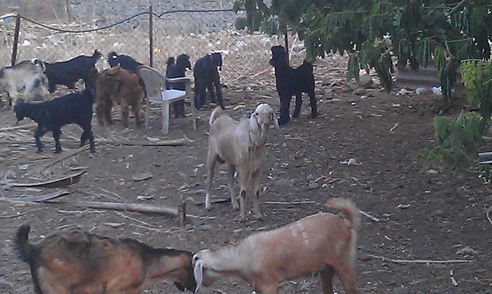 Qurbani ki Niyat, Qurbani ki Dua, Dua for Sacrifice an Animal