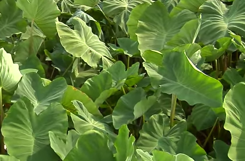 Taro leaves