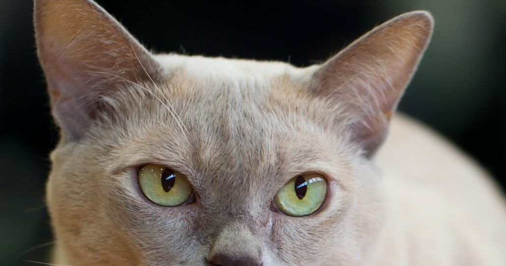 Size And Weight Of Burmese Cats Annie Many