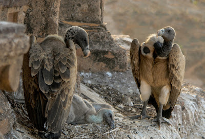 Vultures from India