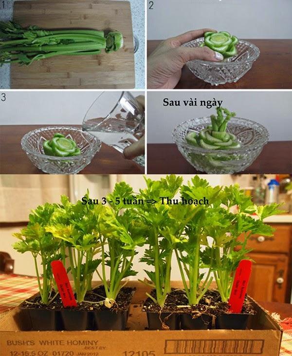 Cần tây cách trồng rau sạch tại nhà