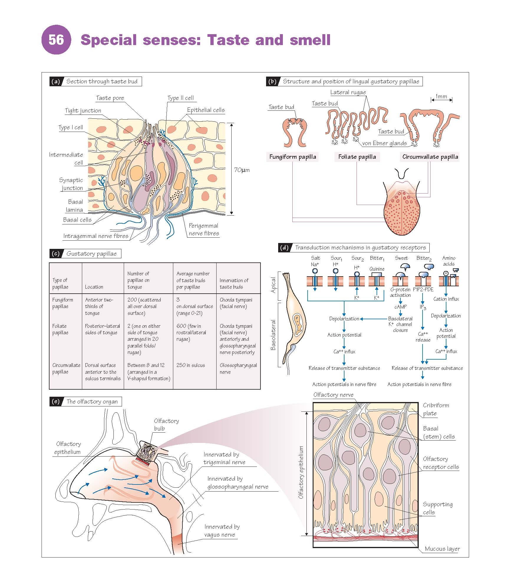 Special Senses: Taste And Smell