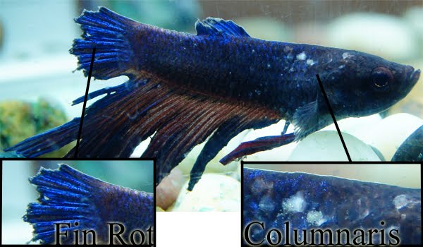 Fin & Tail Rot in Bettas & other Fish