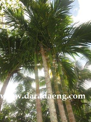 Pohon Pinang
