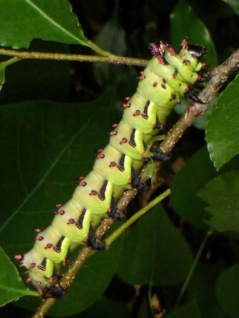 Citheronia laocoon caterpillar