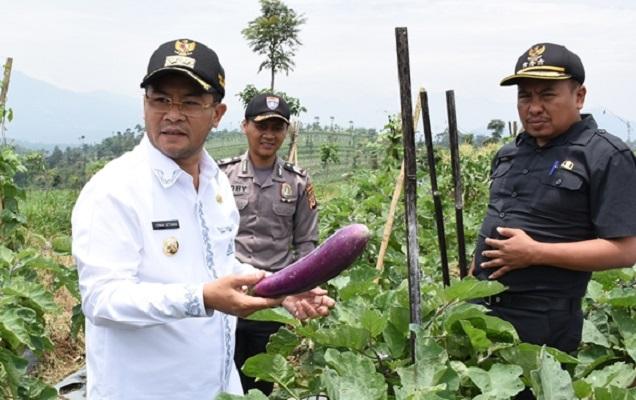 Wakil Bupati Sumedang Panen Terong, Erwan: Kita Harus Bangga Jadi Petani