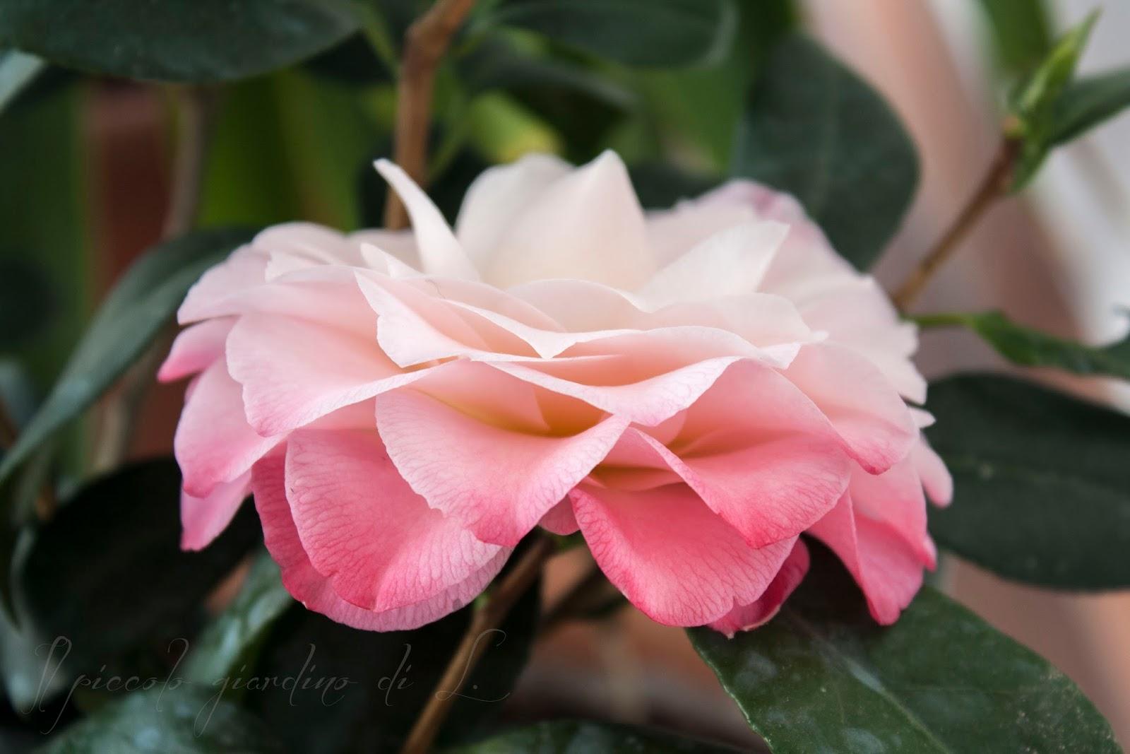 Il piccolo giardino di l fioritura da record per la mia for Camelia fioritura