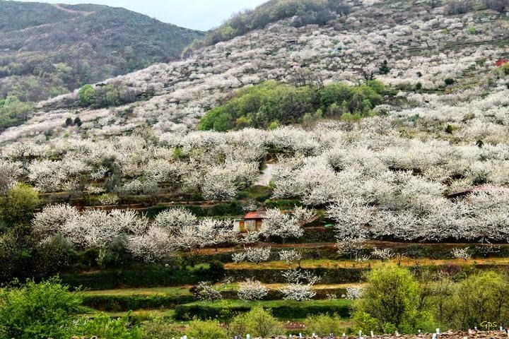 Cerezo en flor 2015 en el valle del jerte preparados for Oficina de turismo valle del jerte