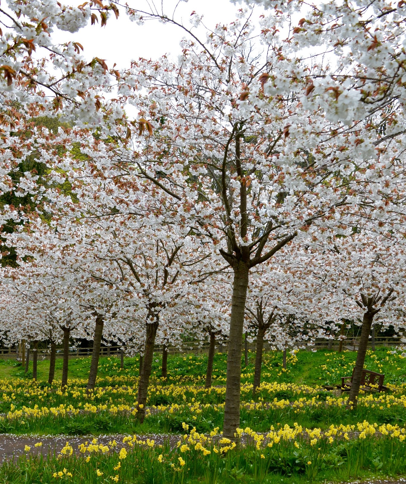 The Cherry Blossom Orchard at The Alnwick Garden