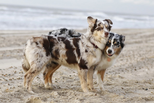 Hütehund, Strand, Hunde am Strand, Indinanermädchen und Wildfang