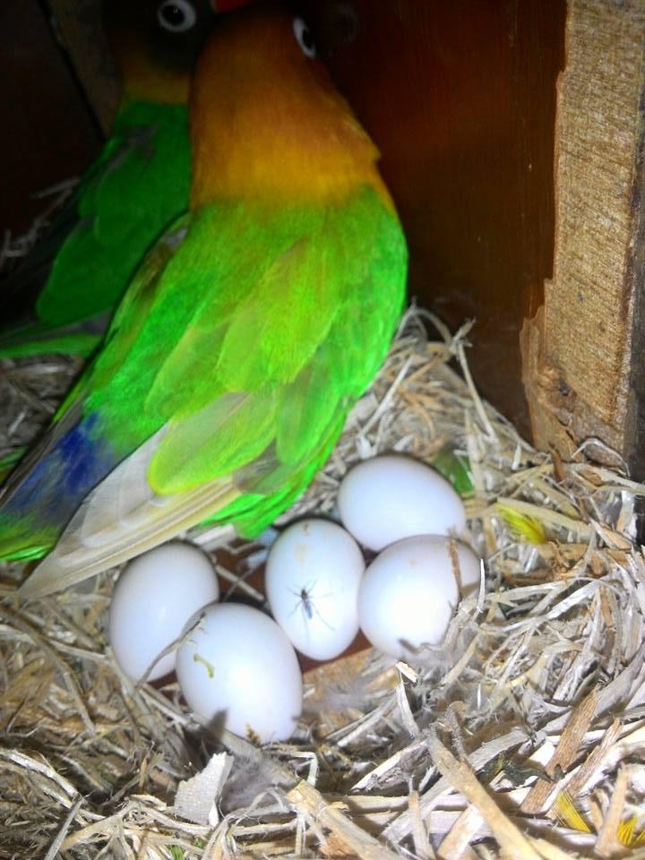 Cara Ternak Lovebird Untuk Pemula Mudah Berhasil Cara Gacor