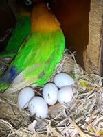 Telur lovebird yang bagus