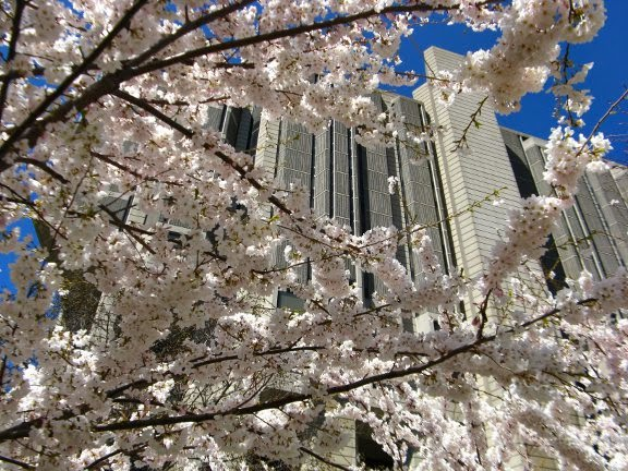 Prunus serrulata Japanese flowering cherry tree blooms in foreground with University of Toronto Robarts Library in background by garden muses: a Toronto gardening blog