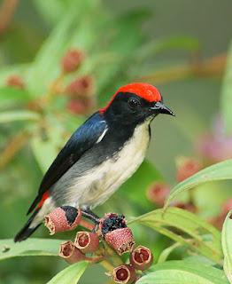 Suara Cabe Merah Gacor Untuk Memaster Burung