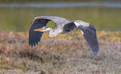 Grey Heron in Flight Woodbridge Island Cape Town - Canon EOS 7D Mark II / 400mm Lens