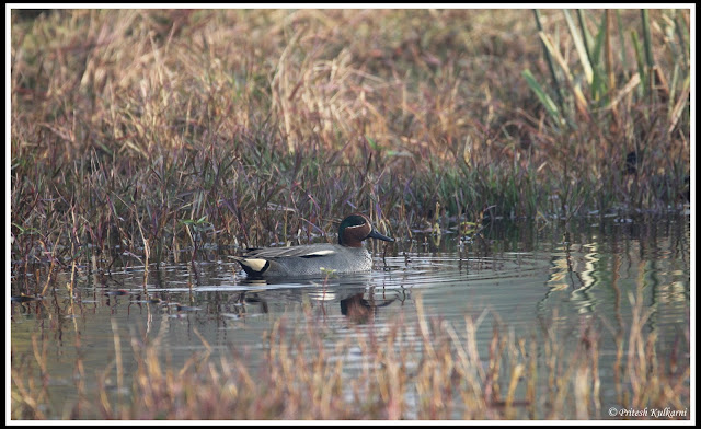 Common Teal at Bharatpur