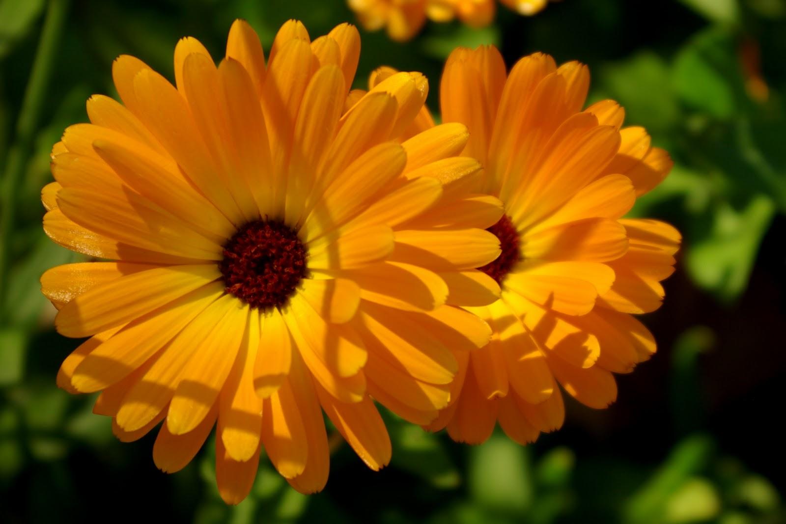 Orange Color Garden Rambles Calendula