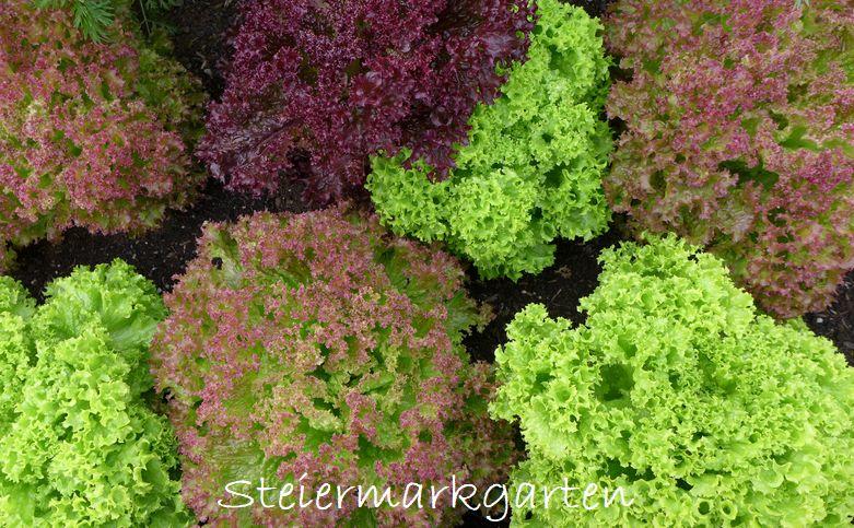Salate-Steiermarkgarten