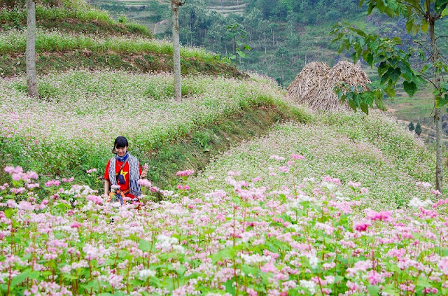 Blend of Buckwheat Flowers During a Trip To Explore Ha Giang Rocky Plateau 3