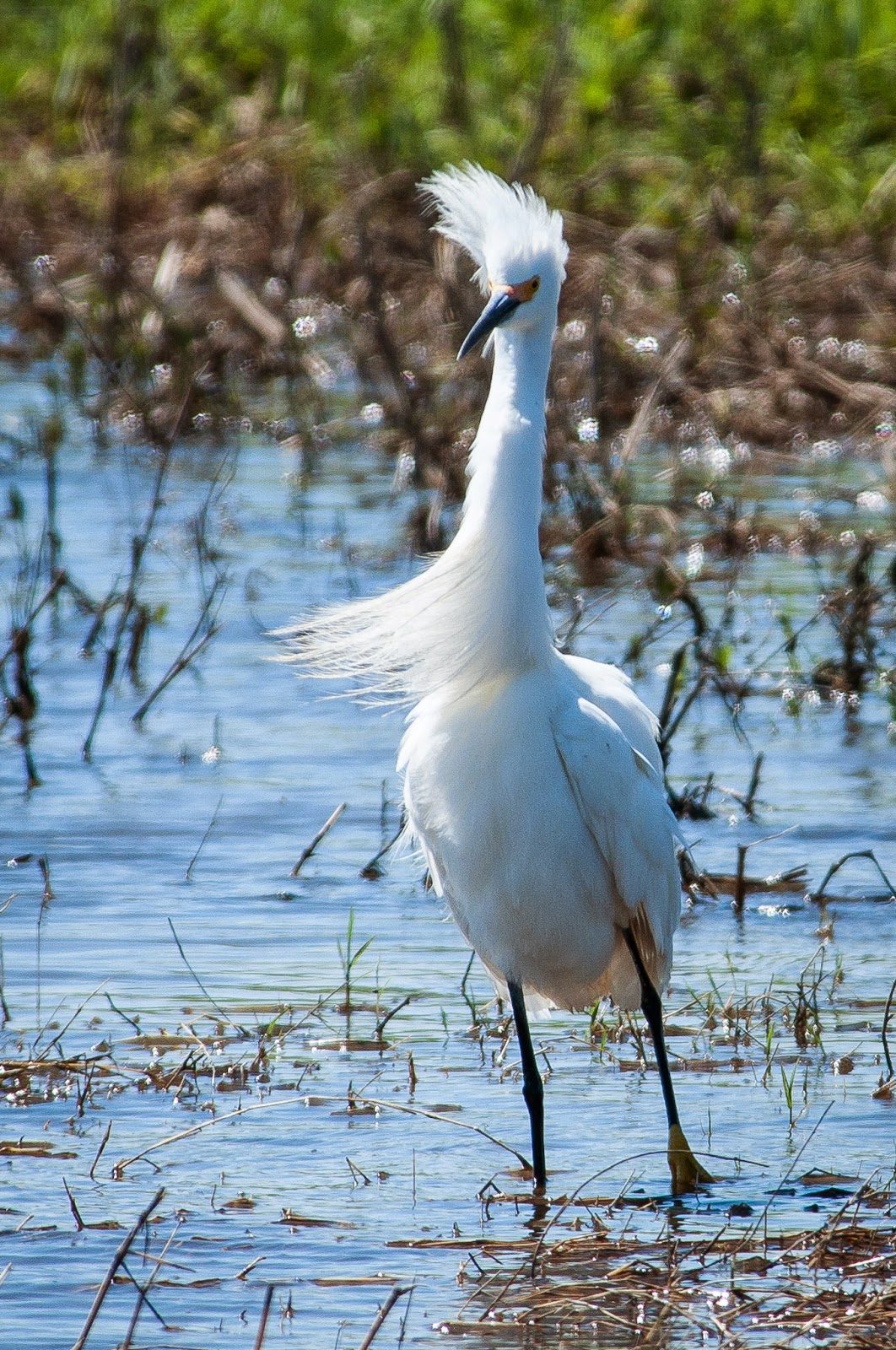 Snowy Egret, Hagerman Wildlife Refuge