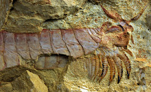 FIRE-KISSED CAMBRIAN ARTHROPOD