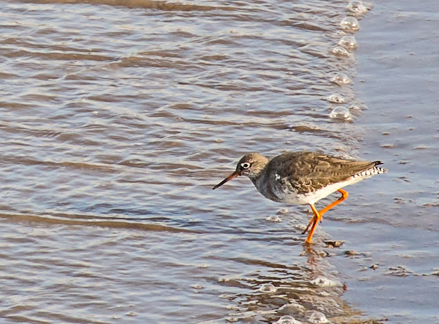 Photo of a redshank in Maryport basin