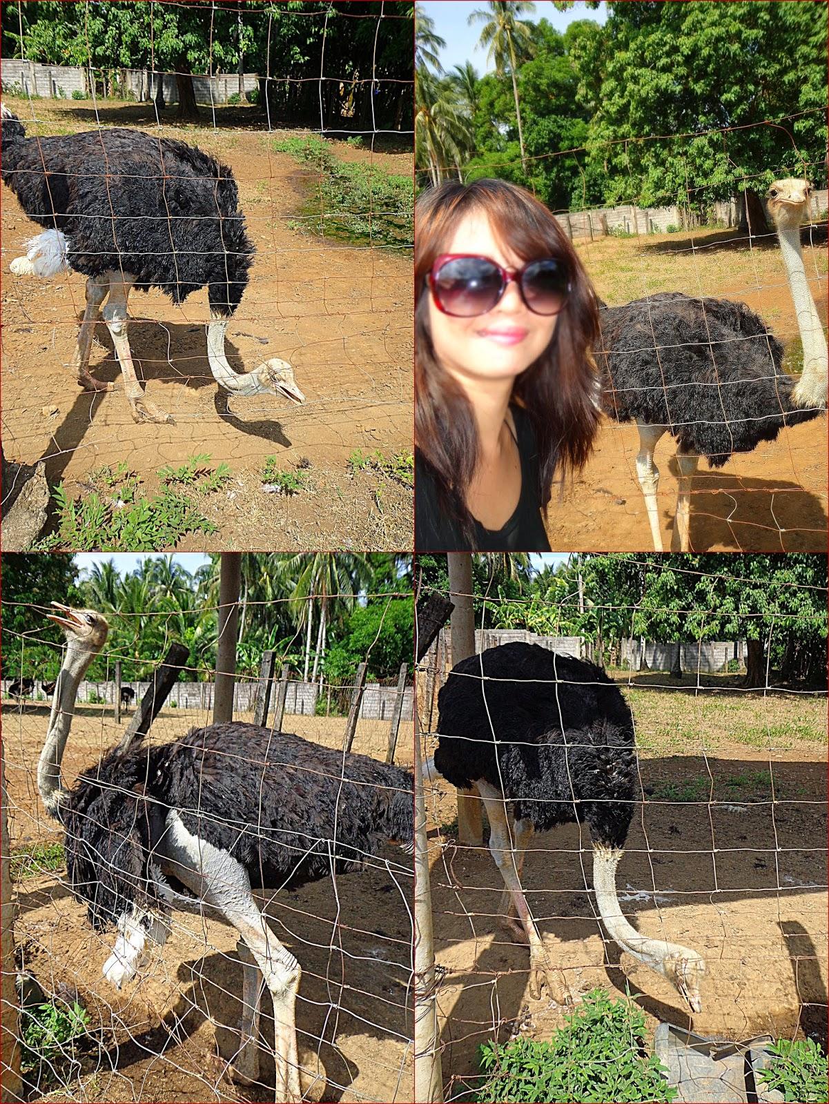 Provincial Breeding & Ostrich Production Center, Camiguin