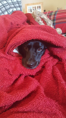 cute dog all wrapped up in red blanket to keep warm