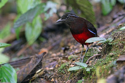 Graceful Pitta