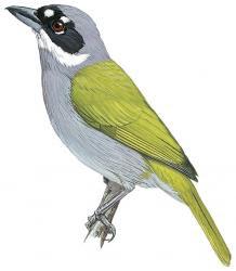 Phaenicophilus poliocephalus