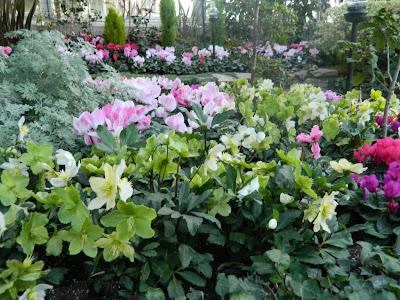 Cyclamen and hellebores at allan gardens christmas flower show 2012 by garden muses: a Toronto gardening blog