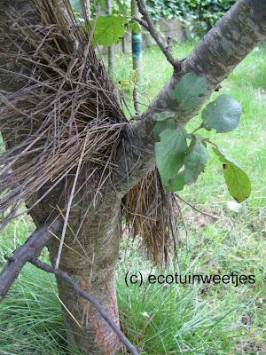 bladluizen bestrijden, bladluizen biologisch bestrijden, bladluizen ecologisch bestrijden, oorworm, natuurlijke vijand, bloempot, stro