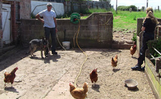 Meeting chicken in a small farm yard