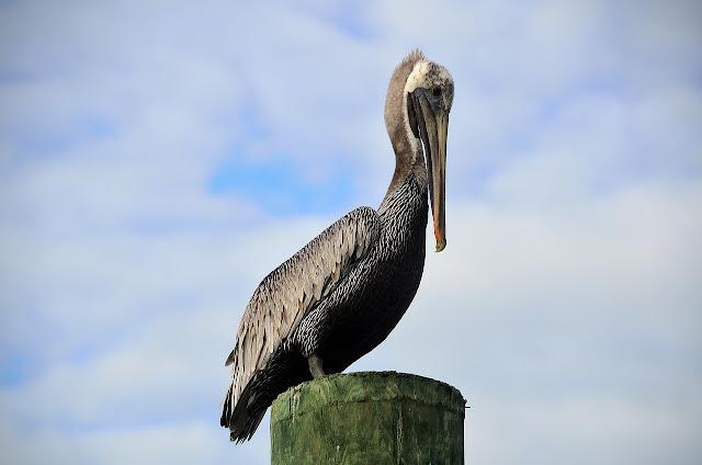 el origen y evolución de las aves modernas - pelicano ave acuatica