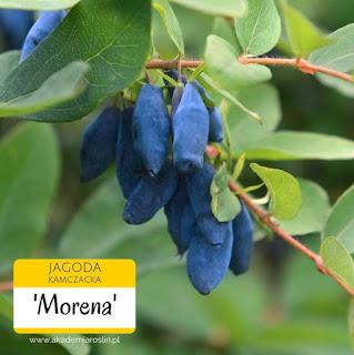 Owoce jagody kamczackiej odmiany Morena