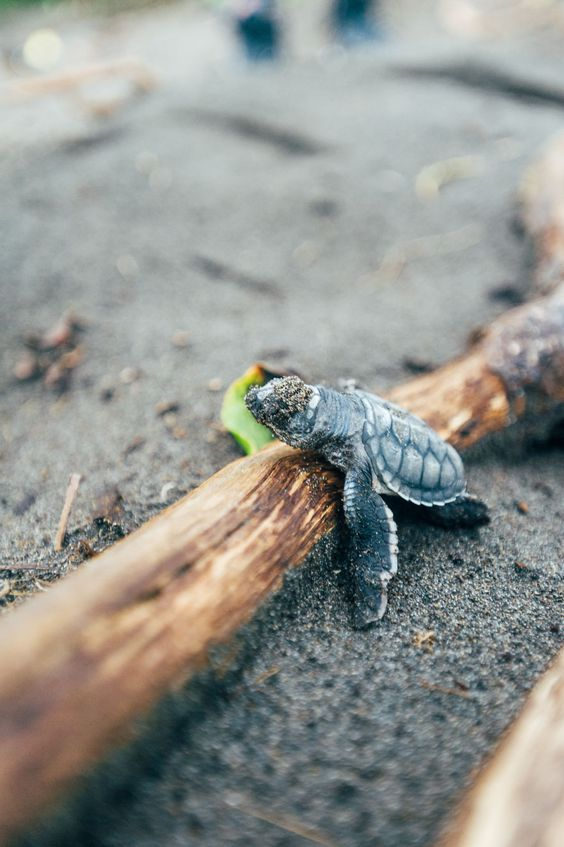 The Day I Helped Save the Baby Sea Turtles in Acapulco ...  |Baby Sea Turtles