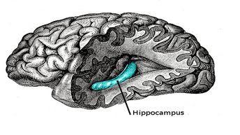 Hippokampüs, Hippokampal, Beyin