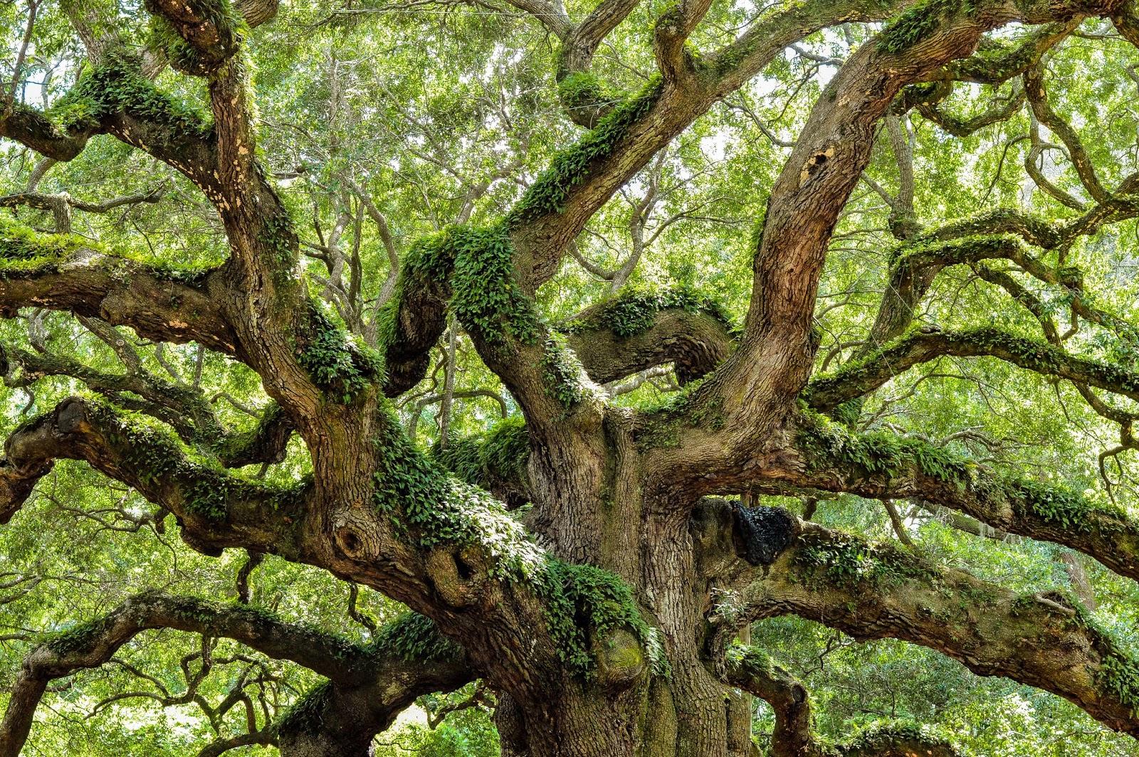 Angel Oak In Charleston South Carolina