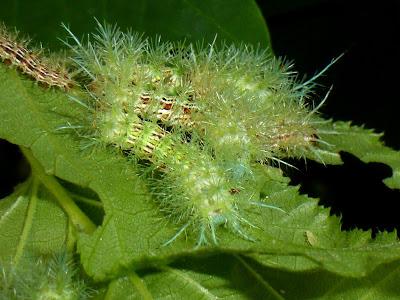 Automeris zugana caterpillar