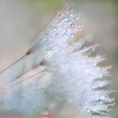 dandelion, macro photograph, waterdrops