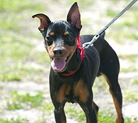 Beautiful Black Miniature Pinscher dog