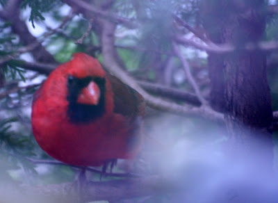 The Cardinal :: All Pretty Things